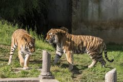 Two tigers fight in a zoo. In italy stock photography