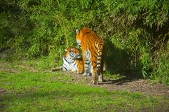 Two tigers in the green forest, autumn royalty free stock photography