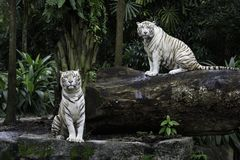Two white Bengal tigers in a jungle. Two tigers in a jungle. A pair of white Bengal tigers over natural background Stock Photo