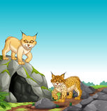 Two tigers living in the cave Stock Photography