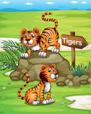 Two tigers near the wooden arrowboard Royalty Free Stock Photography