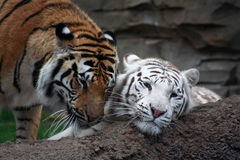 Two tigers are playing Stock Photo