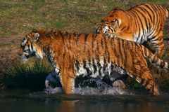 Two tigers playing on the waterside Stock Images