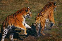 Two tigers playing on the waterside Royalty Free Stock Image