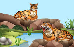 Two tigers by the pond Stock Photo