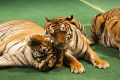 Two Tigers Royalty Free Stock Images