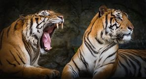 Close up tiger. Two tigers show different emotions Stock Photos
