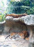 Two tigers sleep on a rock Stock Photos