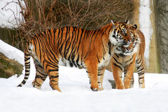 Two tigers. Standing next to each winter in the snow Royalty Free Stock Images
