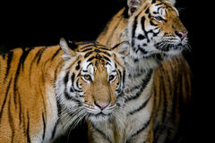 Two tigers in their natural environment Royalty Free Stock Images