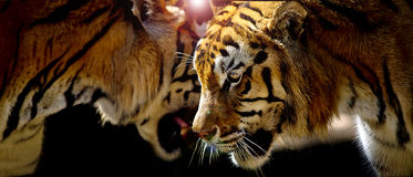 Two tigers in their natural environment Royalty Free Stock Image