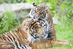 Two tigers together Stock Photography