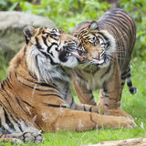 Two tigers together Stock Photos