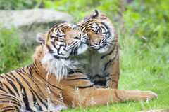 Two tigers together Royalty Free Stock Images