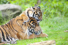 Two tigers together Stock Image