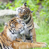 Two tigers together Royalty Free Stock Image