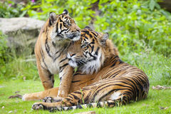 Two tigers together Stock Photo