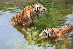Two tigers in water Royalty Free Stock Photography