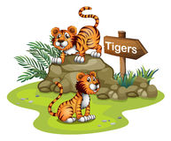 Two tigers with a wooden arrow board Royalty Free Stock Image