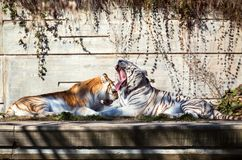 Two tigers in the zoo Stock Images