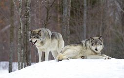 Two Timber wolves Canis lupus standing in the winter snow. Timber wolves Canis lupus standing in the winter snow Stock Photo