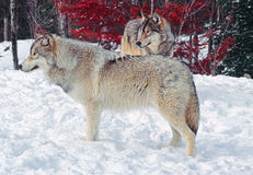 Two timber wolves Stock Photo