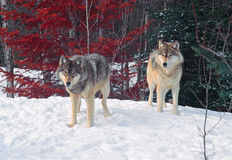 Two timber wolves Royalty Free Stock Photos