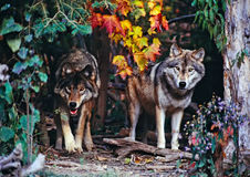 Two timber wolves. At the edge of the forest Stock Photo