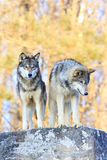 Two timber wolves on ridge with intense stare Stock Image