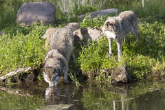 Two timber wolves by stream Stock Images
