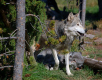 Two Timber Wolves by Tree. Dark one lying down, another standing over dark wolf stock images