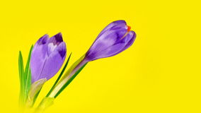 Two timelapse blooming crocuses. Two blooming crocuses in timelapse, isolated on yellow background. Brightness stabiilzed - no flickering, smooth playback stock video footage