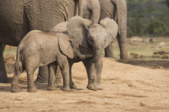 Two tiny baby elephant playing Royalty Free Stock Photography