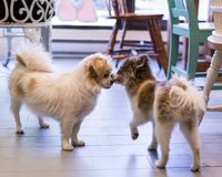 Pomeranian and shih tzu dogs standing nose to nose greeting stock images