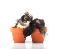 Two tiny bantam chicks in small clay pots Stock Photography