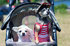 Two Tiny Dogs In Costumes Sit In Stroller Royalty Free Stock Photography