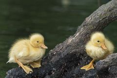 Two tiny ducklings on a branch beside the water Royalty Free Stock Photo
