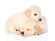 Two tiny golden retriever puppy.  on white background Stock Image