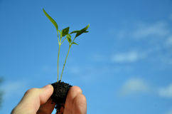 Two tiny green plants of pepper in hand, blue sky in background Royalty Free Stock Photos