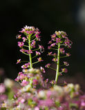 Two tiny inflorescences Royalty Free Stock Photo