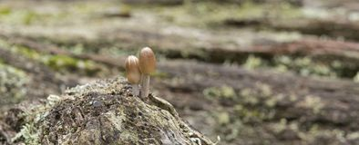 Two tiny mushrooms Royalty Free Stock Images
