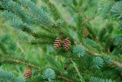 Two Tiny Pine Cones royalty free stock images