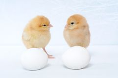 Two tiny pretty chicken and eggs Royalty Free Stock Image