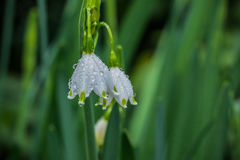 Two tiny spring snowdrops covered in dew. Two sping snowdrops blossoms are covered in water drops after a heavy rainfall Royalty Free Stock Image
