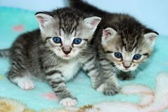 Two tiny tabby kittens. A close up of two tiny brown tabby kittens on a blue blanket Stock Photo