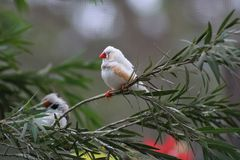 Two tiny finches perched on a tree limb. Two tiny white finches perched on a tree limb resting, watching stock photos