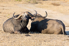 Two tired Cape buffalo lay down on brown grass Royalty Free Stock Photos