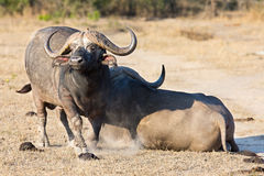 Two tired Cape buffalo lay down on brown grass to rest Stock Photo