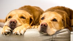 Two tired Labradors looking sleepy on a cushion or dog bed. A sandy labrador retriever dog in a house or home. Toward the camera with floppy ears, tongue and stock images