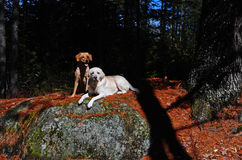 Two tired pups. A pair of labs rest on a sun warmed boulder enjoying the warm sun shining on their coats with the shade near by as the younger one sits and royalty free stock photos